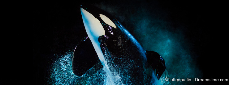 Kyuquot - Killer Whale at SeaWorld Texas with black backdrop