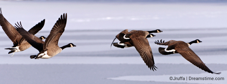 Canadian Geese taking flight over a frozen lake