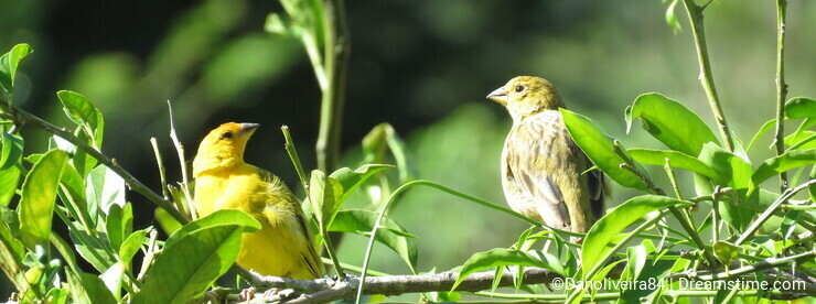A couple Canary