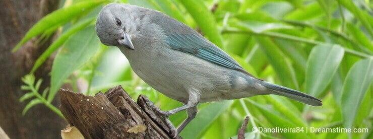 A blue Bird - Thaurapis