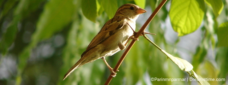 Female Indian House Sparrow (Passer domesticus) sitting on a Branch