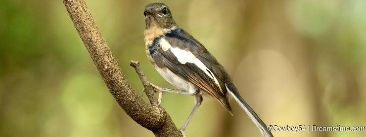 Juvenile female oriental magpie-robin