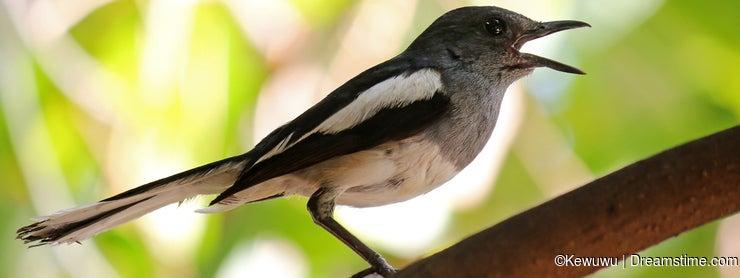 Oriental Magpie Robin bird (Copsychus saularis) with black and w