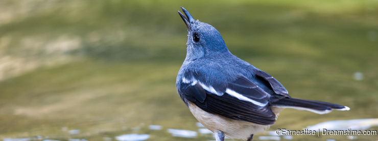 Oriental Magpie Robin drinking water
