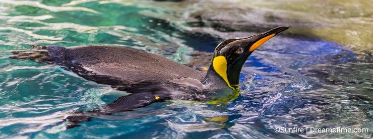 Penguin swimming 1