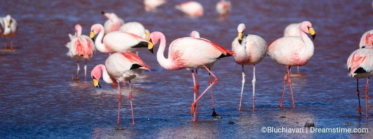 James flamingos at Laguna Colorada. Eduardo Avaroa Andean Fauna National Reserve. Bolivia