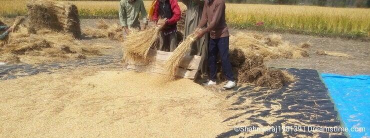 Paddy threshing