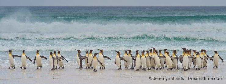 King Penguins Coming Ashore