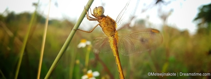 The Yellow Dragonfly is Resting on the Plant