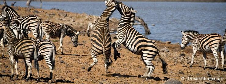 South African zebras fighting near waterhole