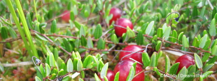 Cranberry in swamp