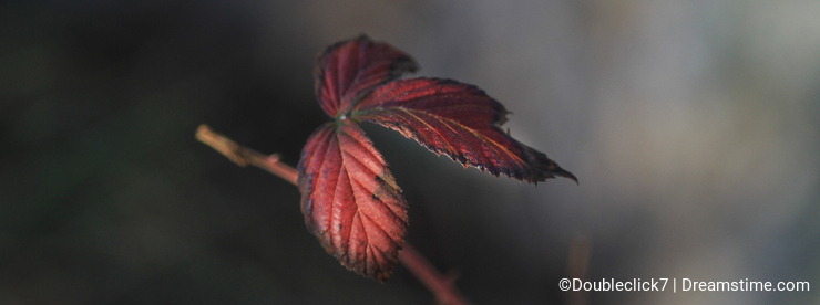 Dewberry leaves in winter