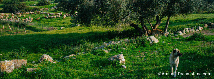 Holy land Series - Sheeps in the meadow, Hirbat Burgin 3