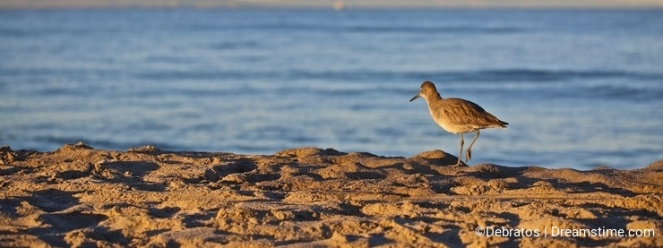 Sand piper bird beach