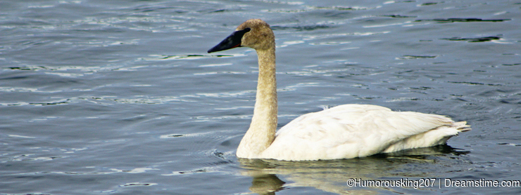 Swan, Yellowstone river, Yellowstone National Park