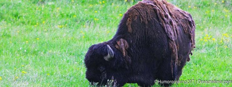 Bison, Buffalo, Yellowstone national park