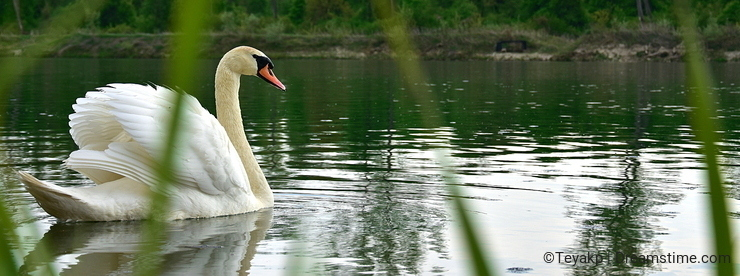 Swan in the pond,lakes