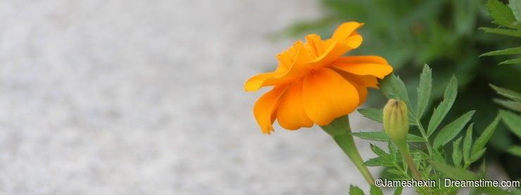 Plant , flower, marigold, friendship, health, sweet love, healthy longevity