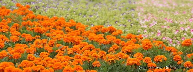 Plant , flower, The flower sea , Marigold and Morning glory, friendship, health, sweet love, healthy longevity