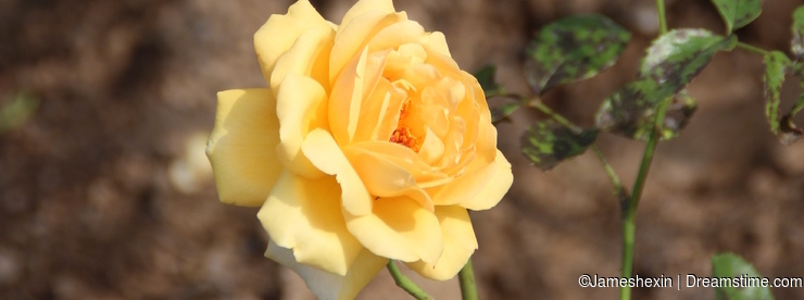 Plant , flower, Yellow chinese rose flower, waiting for hope, happiness, glory, and beauty like new