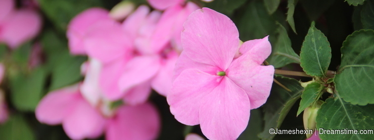 Plant , flower, Pink catharanthus roseus , periwinkle, happy memories, youth often in, constancy