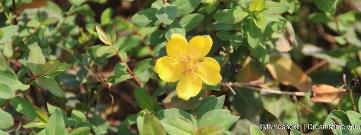 Plant , flower, Forsythia, Hymenodictyon , face to sun, magic, psychic sixth sense