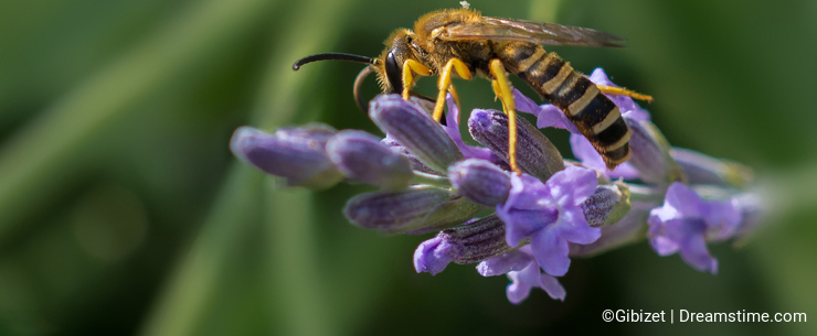 Wasp on lavender strand