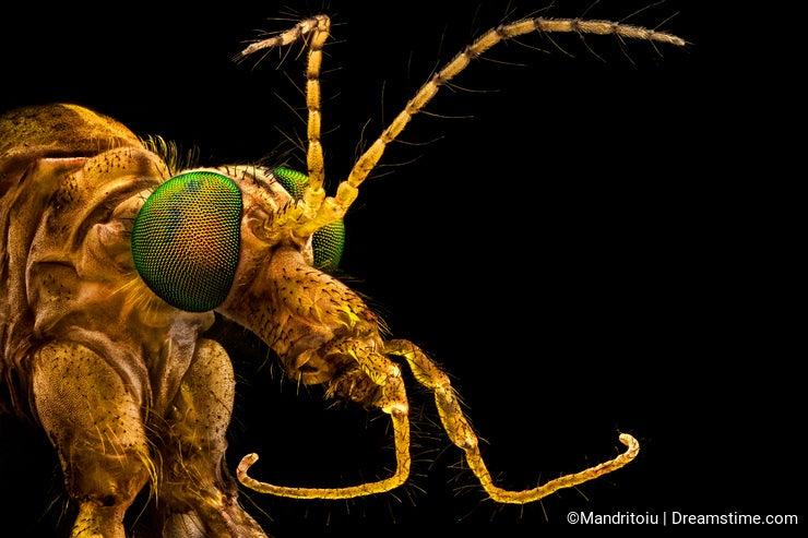 Green eyed crane fly