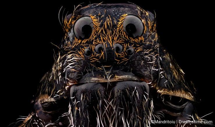Portrait of a wolf spider