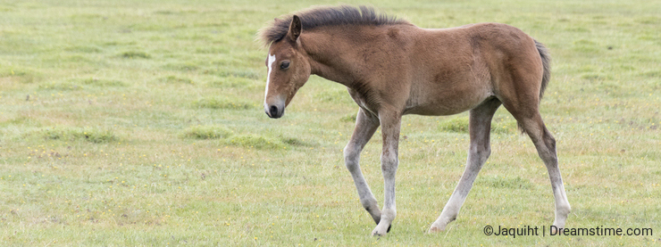 A pony foal in the New Forest