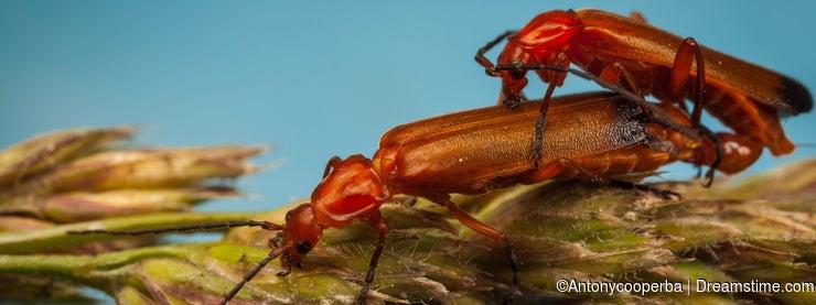 Common Red Soldier Beetles, Rhagonycha fulva