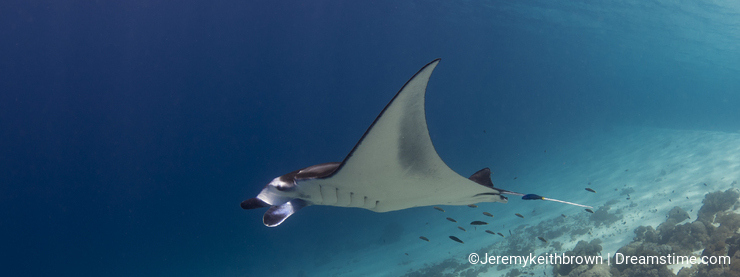 Majestic reef manta with attendant cleaner fish