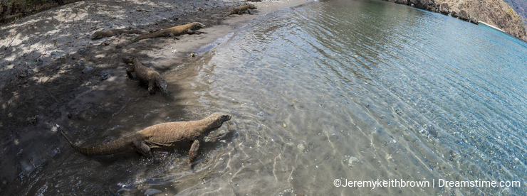Komodo Dragons on a beach
