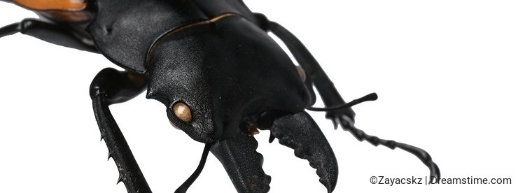 Head, mandible and front legs of large male beetle of stag beetle family Lucanidae, this particular native in Vietnam, on white ba