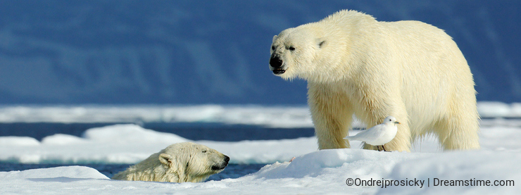Two polar bear, one in the water, second on the ice. Polar bear couple cuddling on drift ice in Arctic Svalbard. Wildlife action