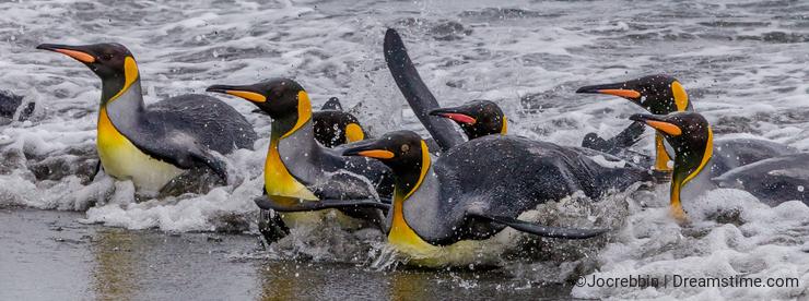 Wet, swimming king penguins slide into shore after fishing