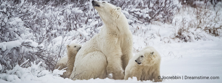 Mother polar bear with two cubs just out of hibernation
