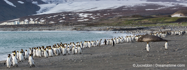 King penguins walking away from katabatic winds on St Andrews bay, South Georgia