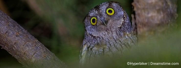 Eurasian Scops Owl at Night Looking Surprised