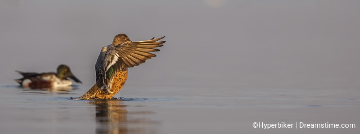Northern Shoveler Flapping Wings