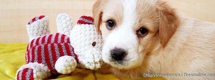 Puppy brown dog with teddy bear.