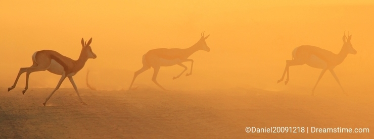Springbok - Wildlife Background of a Golden Dust Sunset, from the wilds of Africa