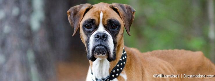 Skinny Boxer dog animal cruelty case