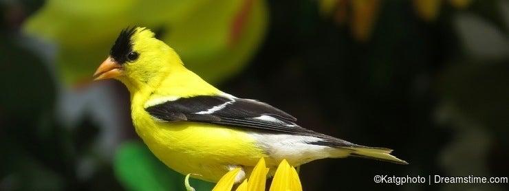 Little Yellow Bird >> The Little Yellow Bird That Became My Wildlife Photography Inspiration