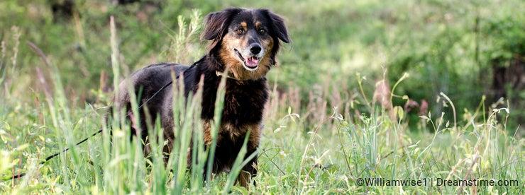 Aussie Setter mix dog, Pet rescue adoption photography