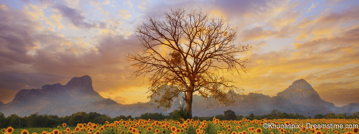 Beautiful landscape of dry tree branch and sun flowers field against colorful evening dusky sky use as natural background, backdro