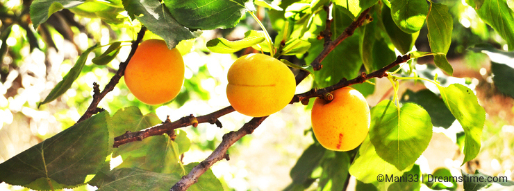 Fresh apricots on a tree