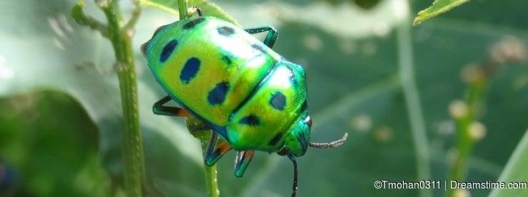 Shiny emerald beetle