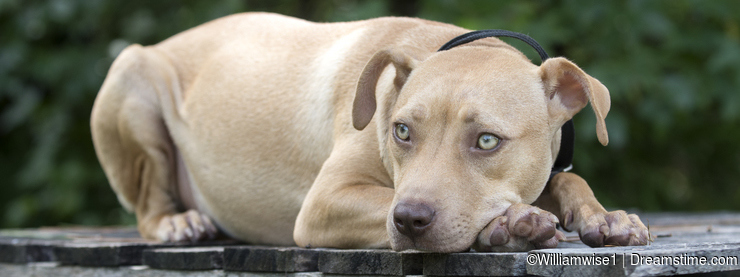 Sad Pitbull puppy dog laying on picnic table