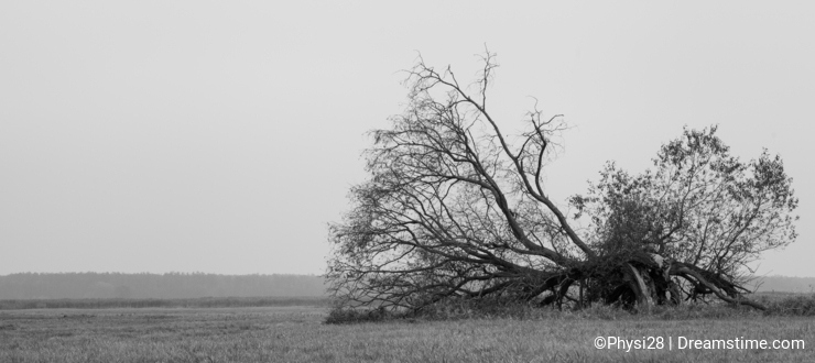Fallen giant tree at Biebrza marshes Poland